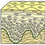 Illustration Of Stratified Squamous Poster