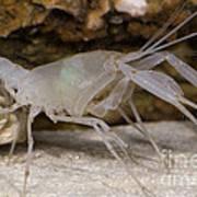 Mclanes Cave Crayfish Poster