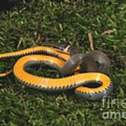 Northern Ringneck Snake Poster