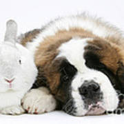 Saint Bernard Puppy With Rabbit Poster