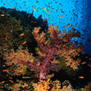Soft Coral Seascape, Fiji Poster