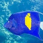 Yellowbar Angelfish Poster