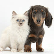 Blue-point Kitten & Dachshund Poster