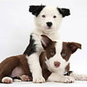 Border Collie Puppies Poster