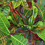 5- Croton Poster