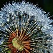 Dandelion With Dew Drops Poster