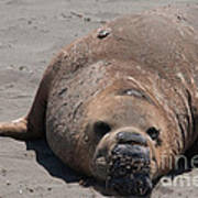 Elephant Seal Colony On Big Sur  Poster