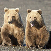 Grizzly Bear Ursus Arctos Horribilis Poster
