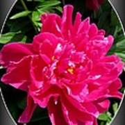 Peony Named Karl Rosenfield Poster