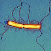 Proteus Vulgaris Bacteria, Sem Poster