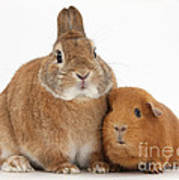 Rabbit And Guinea Pig Poster