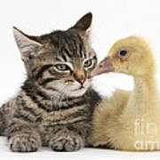 Tabby Kitten With Yellow Gosling Poster