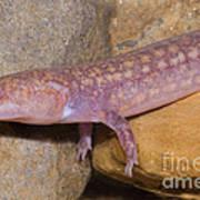 West Virginia Spring Salamander Poster