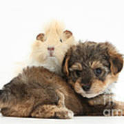 Yorkipoo Pup With Guinea Pig Poster