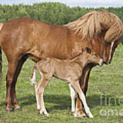 Chestnut Icelandic Horse With Newborn Foal Poster