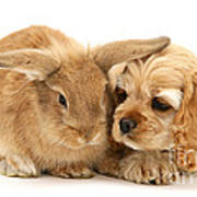 Cocker Spaniel And Rabbit Poster