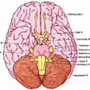 Illustration Of Cranial Nerves Poster