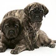 Puppies Poster by Jane Burton
