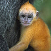 Silvered Leaf Monkey Trachypithecus Poster