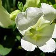 Snapdragon From The Mme Butterfly Mix Poster