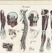 Anatomie Methodique Illustrations Poster