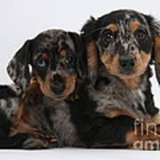 Dachshund Pups Poster