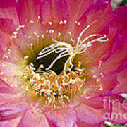 Dark Pink Cactus Flower Poster