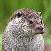 European Otter Poster