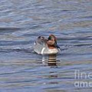 Green Wing Teal Poster