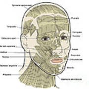Illustration Of Facial Muscles Poster