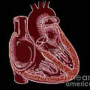 Illustration Of Heart Anatomy Poster