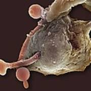 Neutrophil Engulfing Thrush Fungus, Sem Poster by