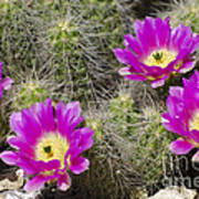 Pink Cactus Flowers Poster