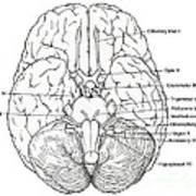 Illustration Of Cranial Nerves Poster