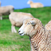 Sheeps Poster