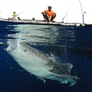 Whale Shark Feeding Under Fishing Poster