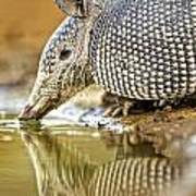 9 Banded Armadillo Poster