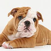 Bulldog Pup Poster