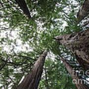 Redwoods Sequoia Sempervirens Poster