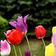 Tulip Garden University Of Pittsburgh  Poster