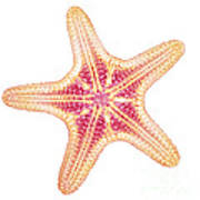 X-ray Of Starfish Poster