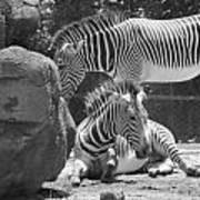 Zebras In Black And White Poster