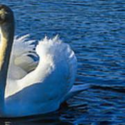 Mute Swan Poster