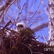 A Baby Red Tail Gazing From Its Nest Poster