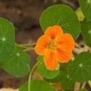 A Beautiful Orange Trumpet Shaped Flower With Green Leaves Poster