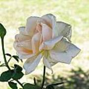 A Beautiful White And Light Pink Rose Along With A Bud Poster