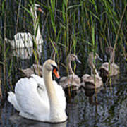 A Bevy  Of Swans. Poster
