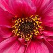A Big Pink Flower Poster