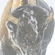A Bison Covered By Ice And Fog Poster