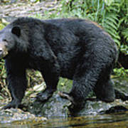 A Black Bear, Ursus Americanus, Walks Poster